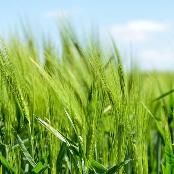 EkoMedica Zelený jačmeň 99,8% šťava